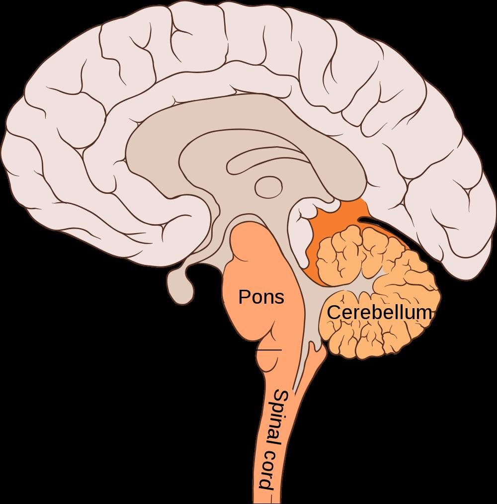 The Cerebellum | ThinkFirst
